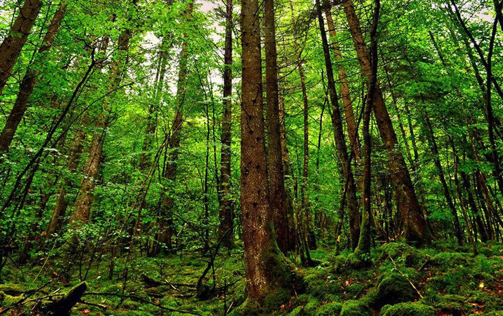 جنگل نقره بر