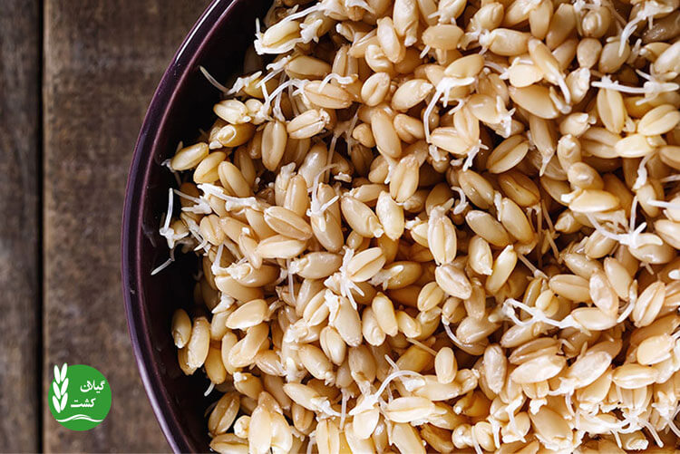 طرز تهیه جوانه برنج قهوه ای در خانه