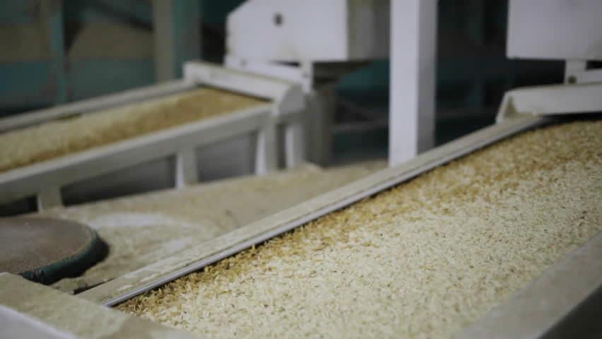 مراحل تولید برنج ایرانی