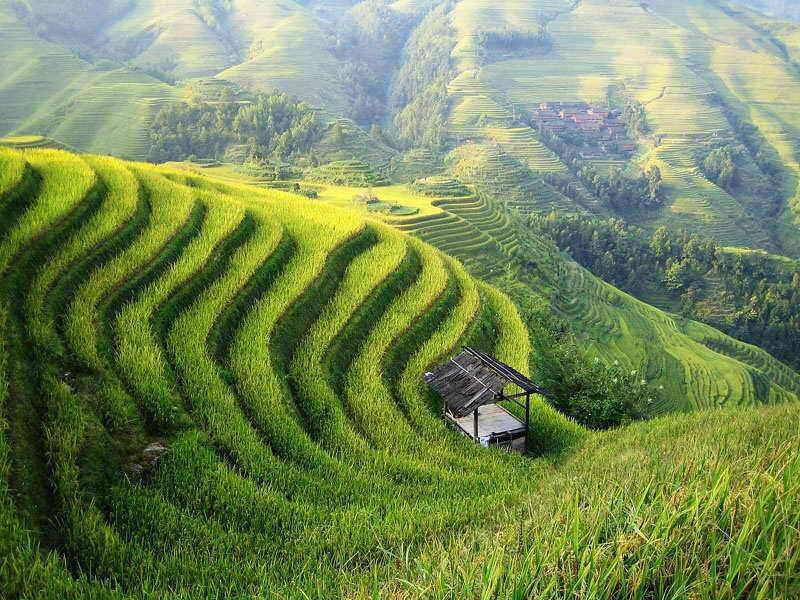 10 تولید کننده برنج در جهان
