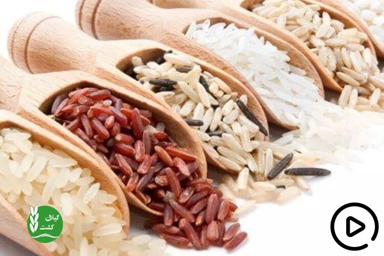 10 خواص برنج در طب سنتی