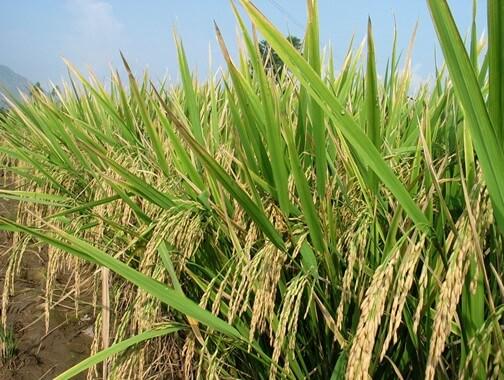 بزرگترین تولید کننده برنج کدام کشور است