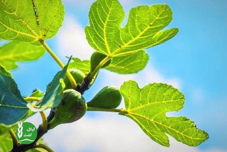 درمان دیابت با برگ انجیر