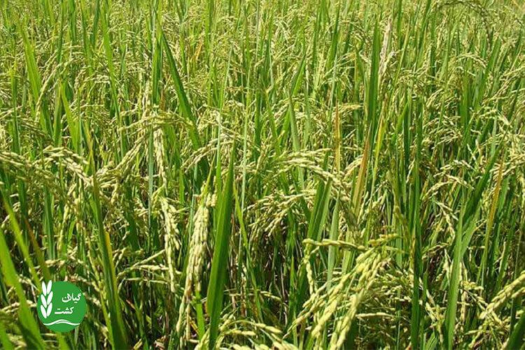 روغن سبوس برنج چیست؟ و چگونه تهیه میشود؟
