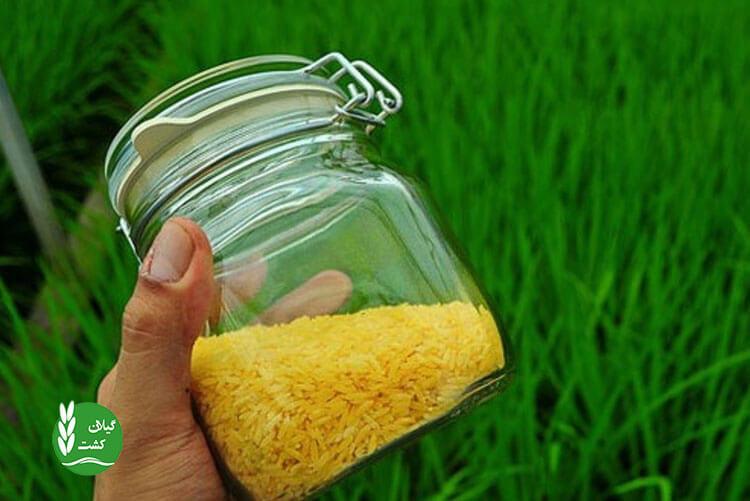 آیا برنج طلایی دارای زیان و عوارض است؟