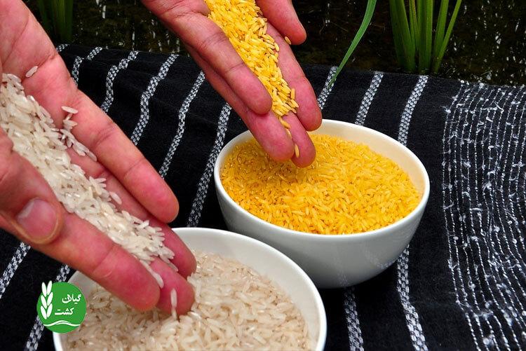 دلایل تولید برنج طلایی و ایدههای راجع به آن